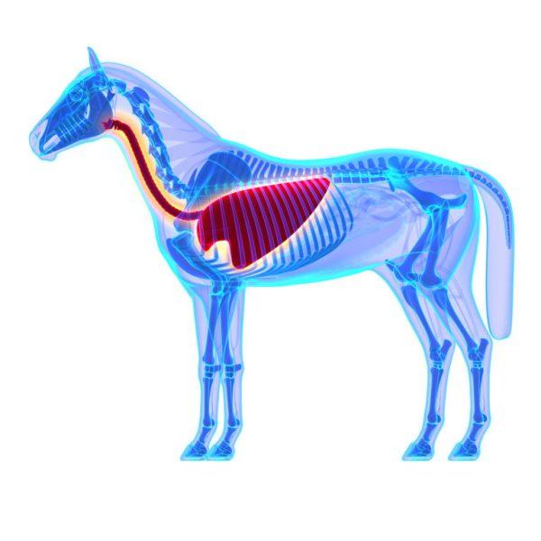Horse Thorax – Horse Equus Anatomy – isolated on white